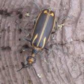 tree stump beetle - Pyrota insulata