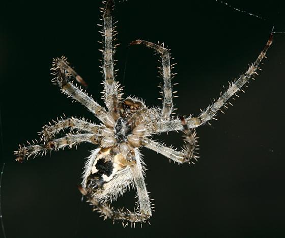 Orb Weaver - Araneus cavaticus