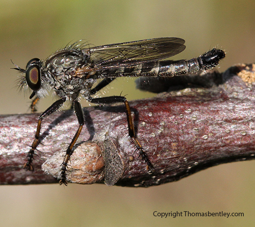 Robberfly - male