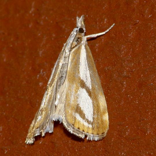 Two-banded Catoptria - Catoptria latiradiellus