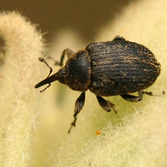 Small brown weevil found on Mullein - Rhinusa tetra