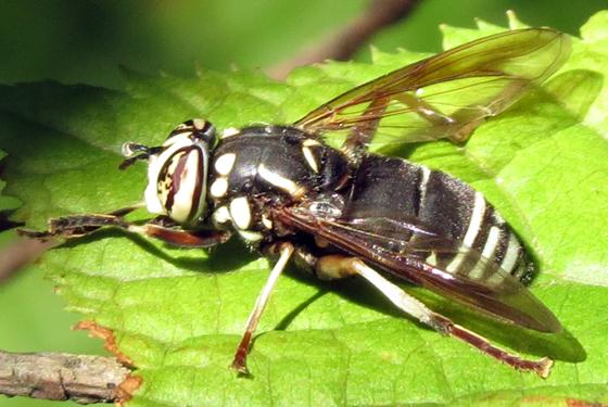 Syrphid Fly - Spilomyia fusca