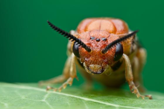 ? - Neodiprion lecontei - female