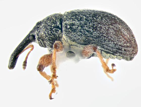 Curculionidae, lateral - Anthonomus rufipes