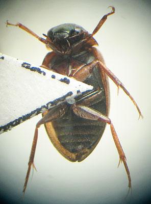 Hydrophilidae - Berosus