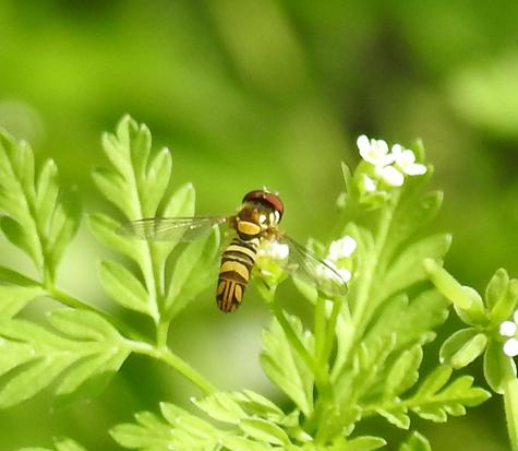 syrphidae sp - Allograpta