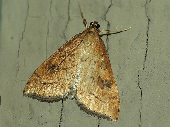 Crambid Snout Moth - Udea profundalis