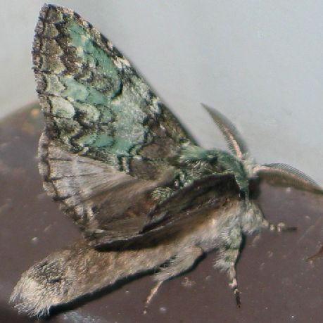 Mottled Prominent - angle - Macrurocampa marthesia - male
