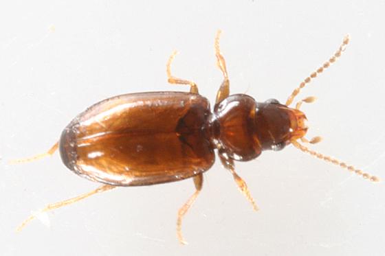 ground beetle - Polyderis laeva