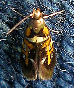 Edith's Fabiola Moth  - Fabiola edithella