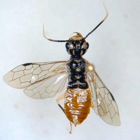 Pamphiliidae - Onycholyda luteicornis
