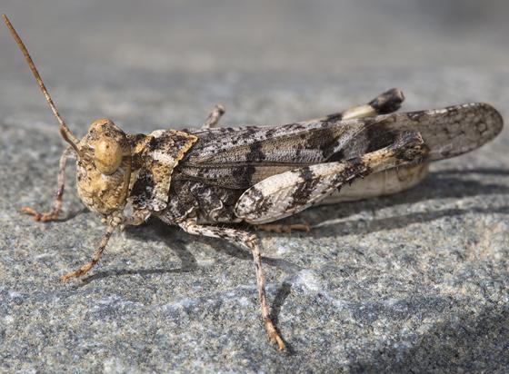 grasshopper - Dissosteira pictipennis