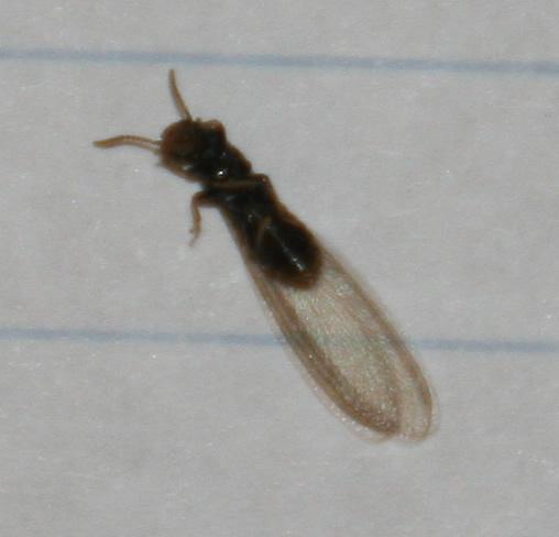 Termites Reticulitermes Bugguide Net