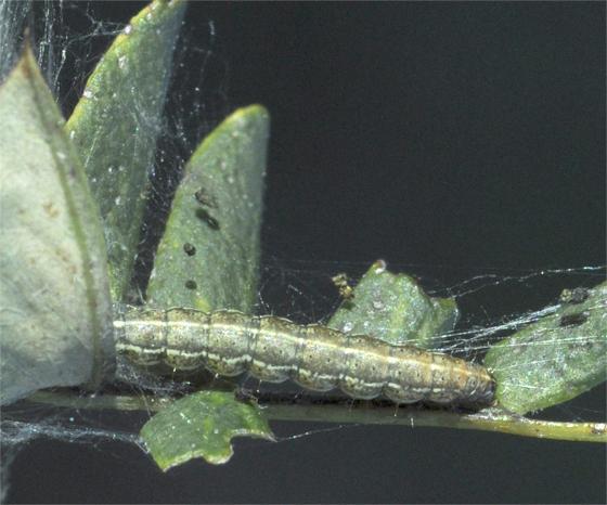 Homadaula anisocentra - Mimosa webworm - Homadaula anisocentra