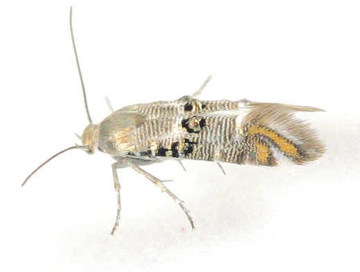 Moth -? - Lithariapteryx abroniaeella