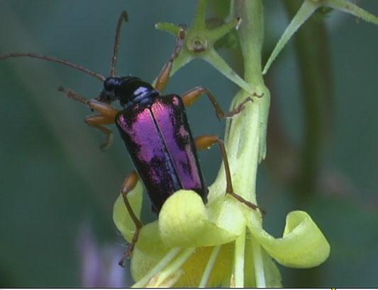Flower Longhorn Beetle? - Gaurotes cyanipennis
