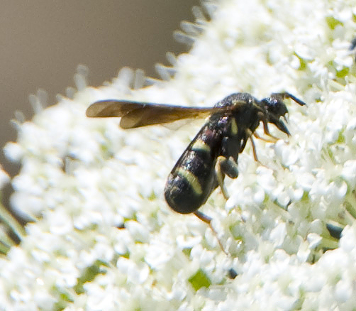 small wasp or fly? - Leucospis affinis - female