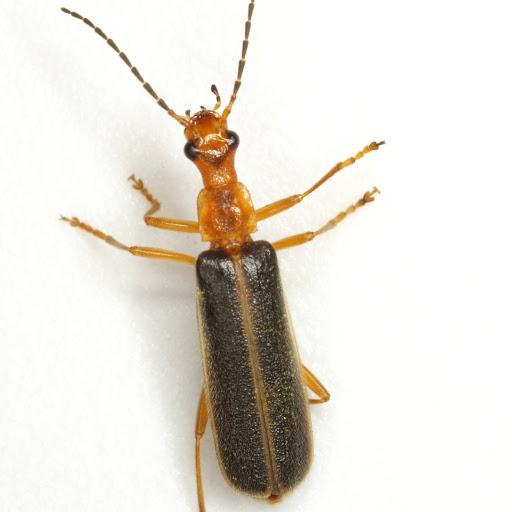 Podabrus brunnicollis (Fabricius) - Podabrus brunnicollis