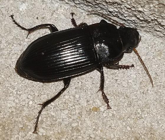 Harpalus caliginosus (Murky Ground Beetle)? - Harpalus