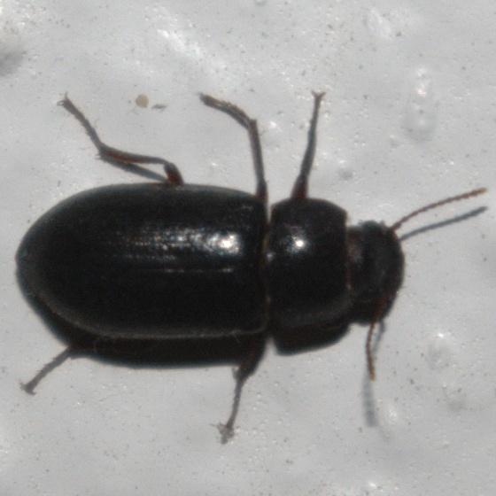 Shiny black beetle on wall