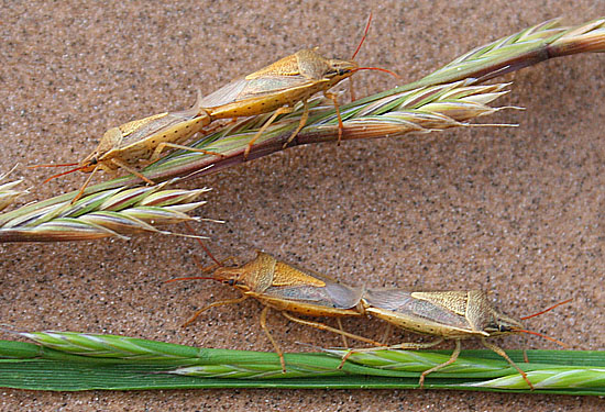 Rice Stink Bugs (mating) - Oebalus pugnax - male - female