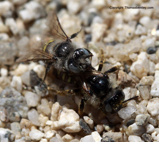 Bees - Calliopsis puellae - male - female