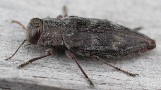 beetle - Chrysobothris adelpha