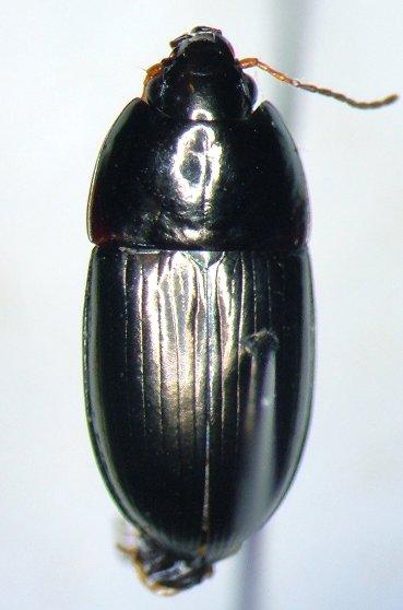 Amara cupreolata - male