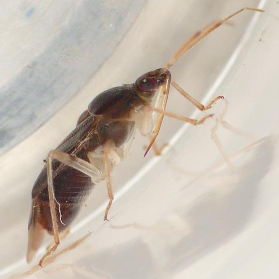 Deraeocoris davisi