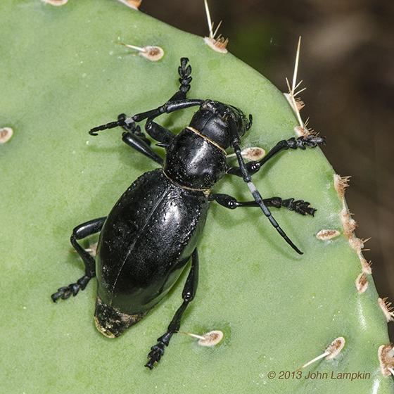 Cactus Longhorned Beetle  - Moneilema gigas