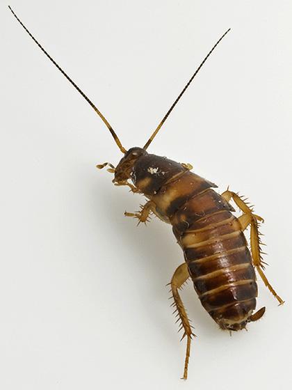 Small Cockroach - Periplaneta australasiae