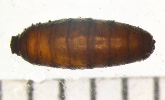 Anthomyiidae, puparium - Chirosia filicis