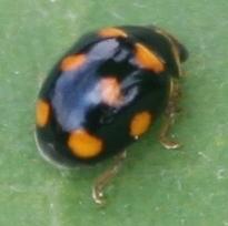 Small Lady Beetle? - Brachiacantha ursina