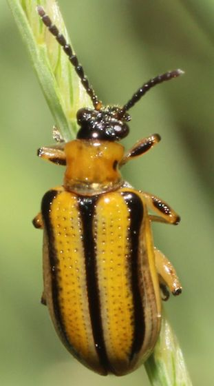 Yellow Beetle - Lema nigrovittata