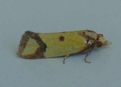 Yellow Moth - Agapeta zoegana