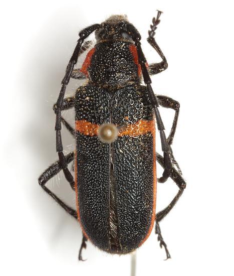 Pilostenaspis lateralis (LeConte) - Pilostenaspis lateralis
