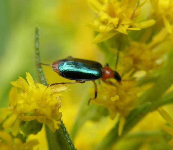 Small Beetle - Lebia viridipennis