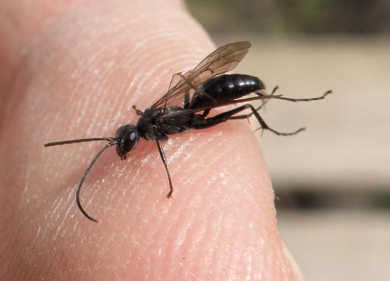 Small Black Wasp Priocnemis Minorata Priocnemis