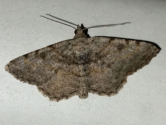 Hollow-spotted Angle - Digrammia gnophosaria