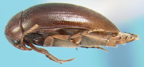 Eucinetid - Eucinetus strigosus