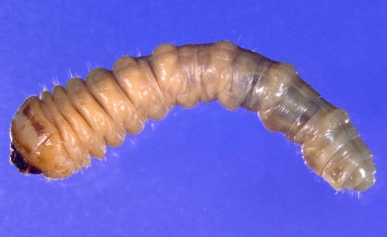 Cerambycidae larva