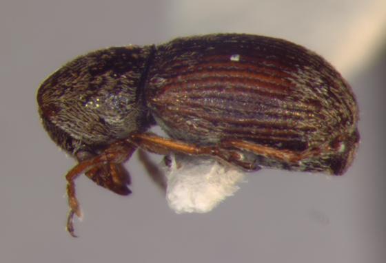 Anthribidae, lateral - Trigonorhinus