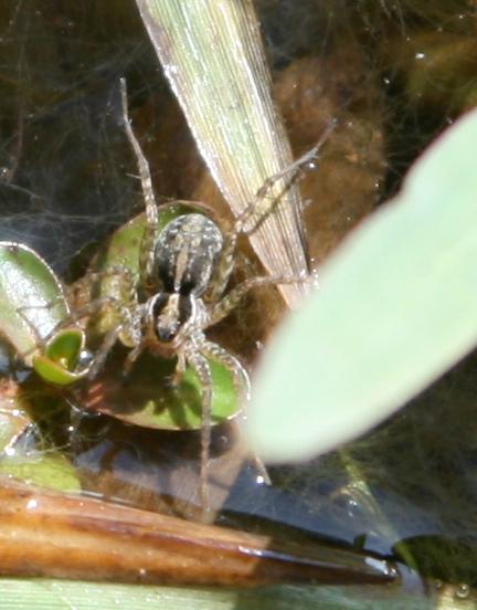 Water Spider - Pardosa