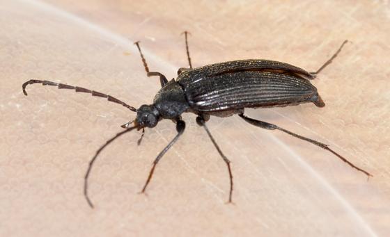 Darkling... or  ? - Capnochroa fuliginosa