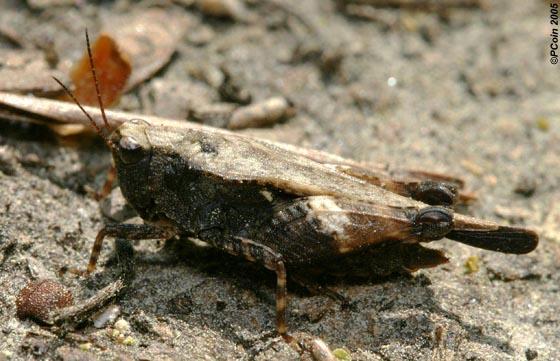 Black-sided Pygmy Grasshopper - Tettigidea lateralis - female