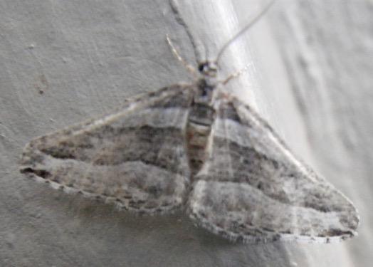 Moth A 11.18.18 - Lithostege deserticola