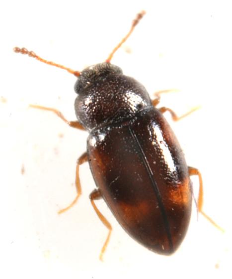 Beetle - Toramus pulchellus