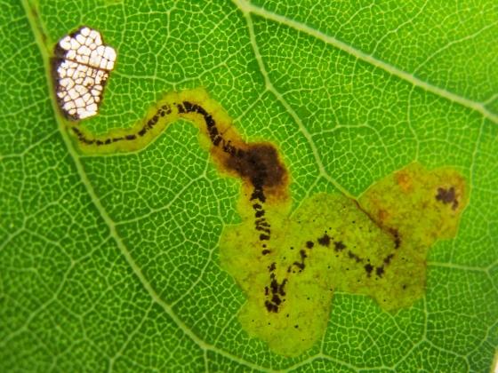 Leaf mine on Cottonwood - Stigmella populetorum