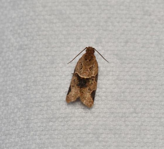 Unidentified Moth - Clepsis peritana