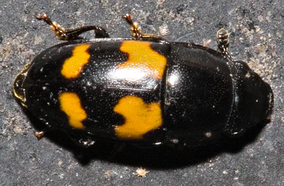 Little Black Beetle with Orange - Glischrochilus fasciatus